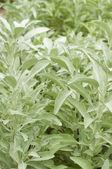草本白色鼠尾草 — 图库照片
