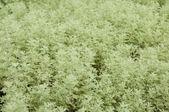Herb roman wormwood — Stock Photo