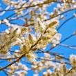 Yellow blooming willow — Stock Photo