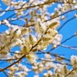 Yellow blooming willow — Stock Photo