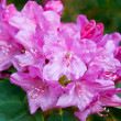 Pink azalea — Stock Photo