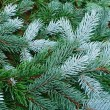 Green tree, fir tree, evergreen branches after rain - Stock Photo