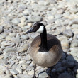 Stock Photo: Canadigoose closeup standing on river rocks