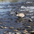 Canadian goose walking in shallow river flow — Stock Photo