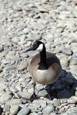 Canadian goose closeup standing on river rocks — Stock Photo