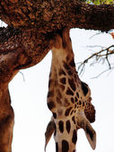Young giraffe chewing on bark of tree — Stock Photo
