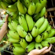 Hand on Banana harvest — Stock Photo