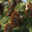 Spruce cones — Stock Photo