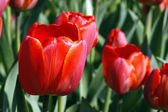 The red tulip — Stock Photo