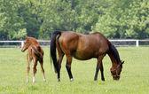 Família de cavalos — Foto Stock
