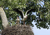 Two stork in the nest — Stock Photo