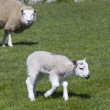 Stock Photo: Lamb in field
