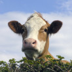 vaca leiteira — Foto Stock