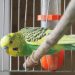 A parrot is in a cage — Stock Photo