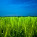 Wheat field — Stock Photo #2803431