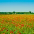 Red poppies field — Stock Photo #2931778