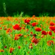 Red poppies field — Stock Photo #2931809