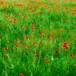 Red poppies field — Stok fotoğraf