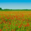 Red poppies field — Stock Photo #2931899