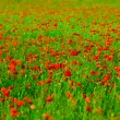 Red poppies field — Stock Photo #2931912