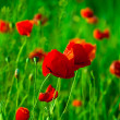 Red poppies field — Foto Stock