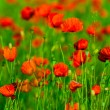 Red poppies field — Lizenzfreies Foto