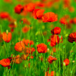 Red poppies field — 图库照片
