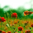 Red poppies field — Stock Photo #2932117