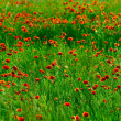 Red poppies field — Stock Photo #2932132