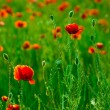Red poppies field — Stock Photo #2932332