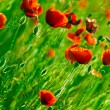 Red poppies field — Stock Photo #2932411