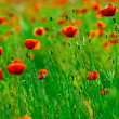 Red poppies field — Stockfoto