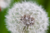 Taraxacum Flower — Stock Photo