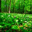 Wild garlic forest — ストック写真