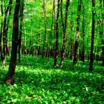 Wild garlic forest — Stock Photo