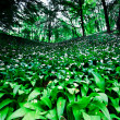 Wild garlic forest — 图库照片