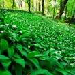 Wild garlic forest — Stock Photo