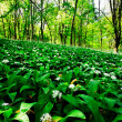 Wild garlic forest - Stock Photo