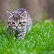 Stock Photo: Little kitten playing on the grass