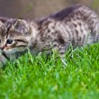 Little kitten playing on the grass - Stock Photo