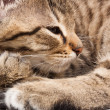 Sleeping cat — Stockfoto