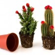 Potted cacti with flowers — Stock Photo