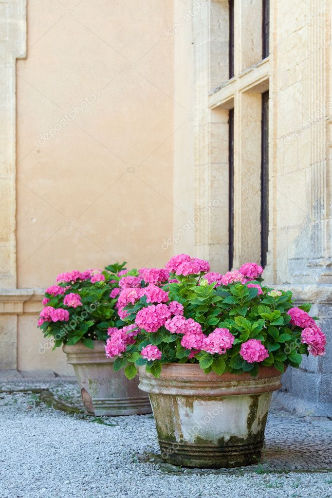 Pink hydrangeas planted in terracotta pots  Stock Photo #3592569