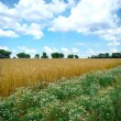 A field of mature wheat - Stock Photo