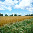 Field of mature wheat — Stock Photo #2786314
