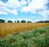 A field of mature wheat — Stock Photo