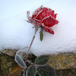 Rose in the snow — Stock Photo