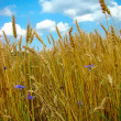 Cornflowers in wheat — Stock Photo #2863359