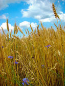 Cornflowers in wheat — Stock Photo