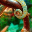 Tail chameleon — Stockfoto